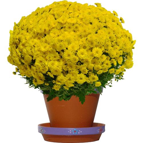 Tube Chrysanthème jaune