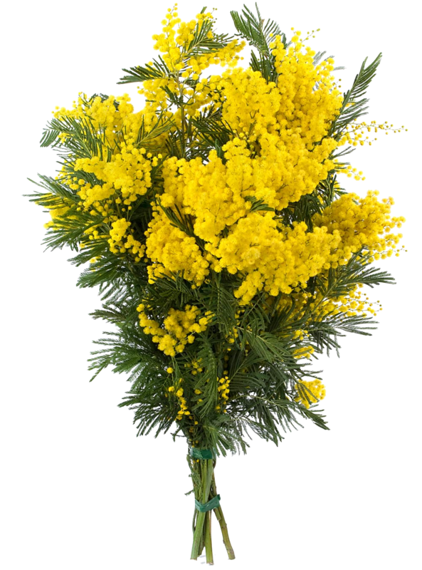 Tube bouquet de mimosa