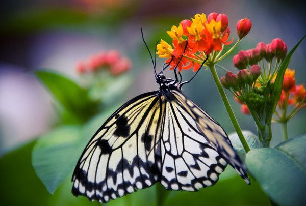 papillon blanc et noir. Black Bedroom Furniture Sets. Home Design Ideas