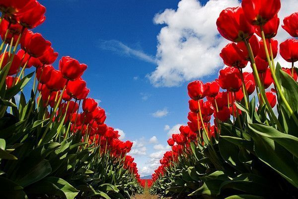 Champs de tulipes rouge