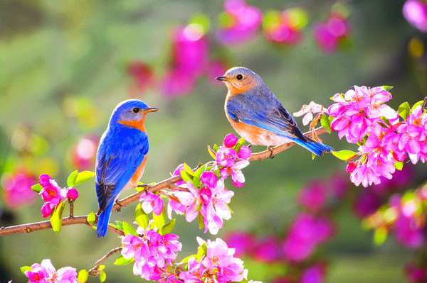 Oiseaux bleu du printemps