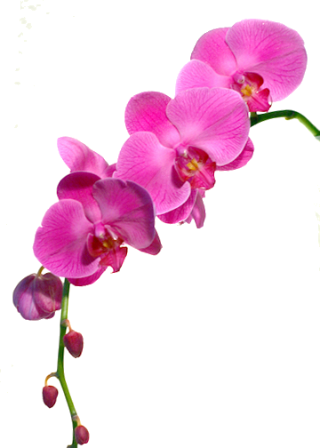 Tube orchid e rose - Dessin d orchidee ...